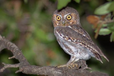 Elf Owl II