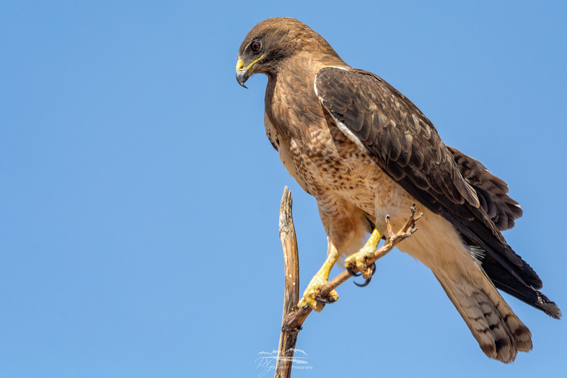 Swainson's Hawk IV