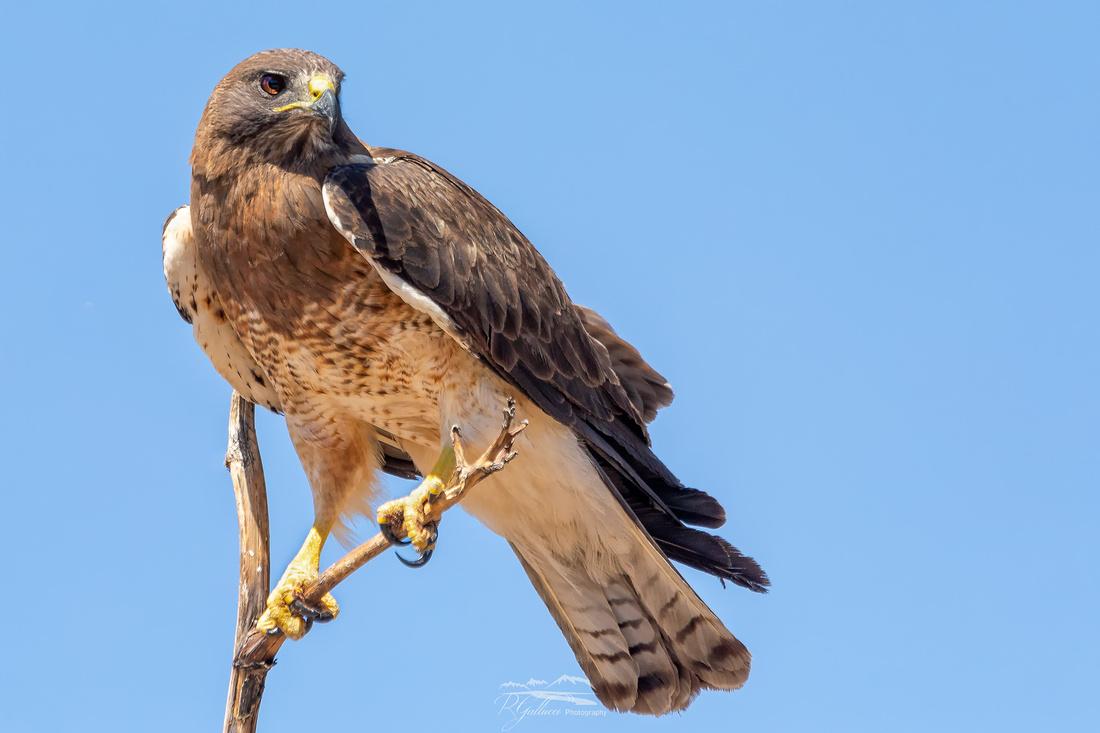 Swainson's Hawk VI