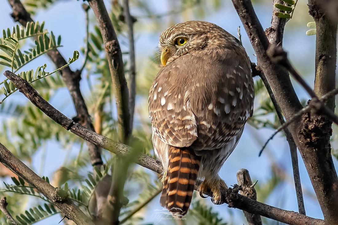 Ferruginous Pygmy Owl II