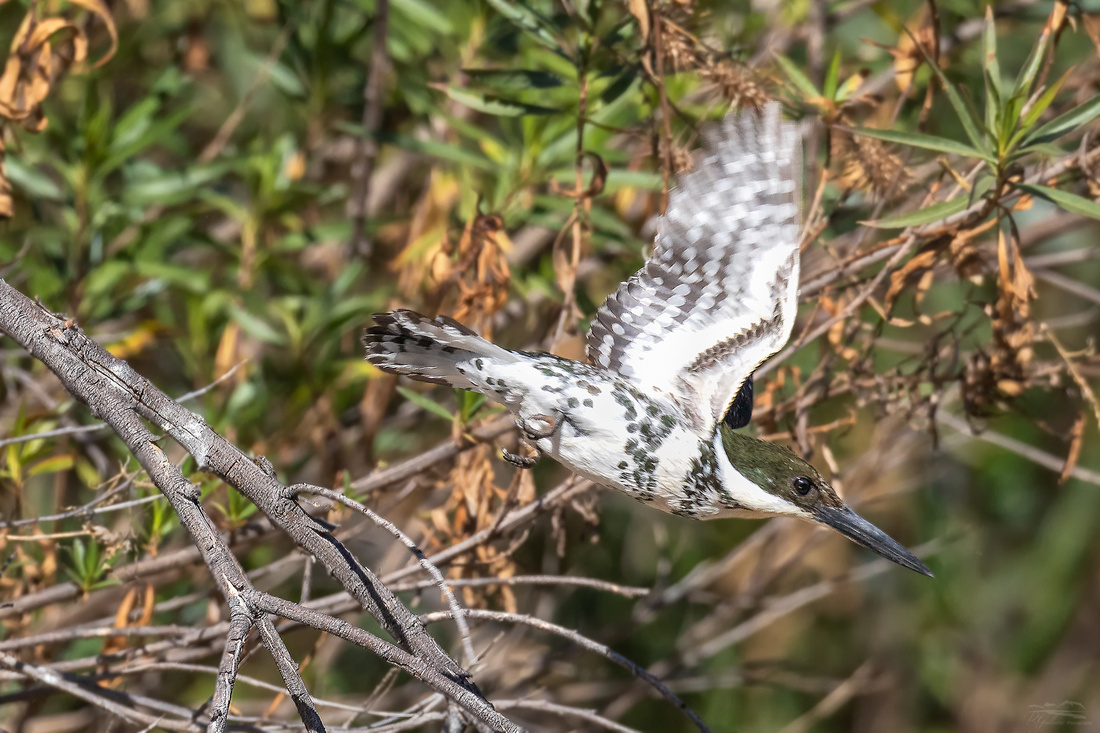Green Kingfisher in Flight