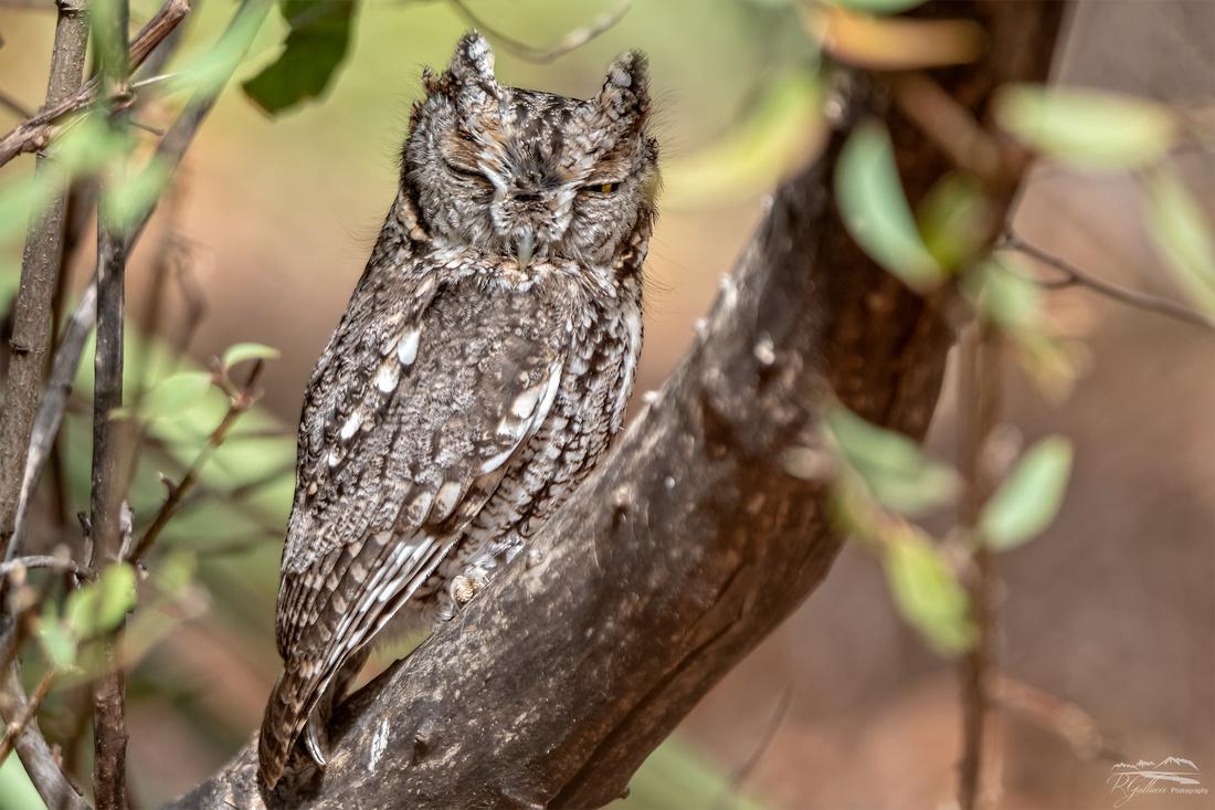 Whiskered Screech Owl II