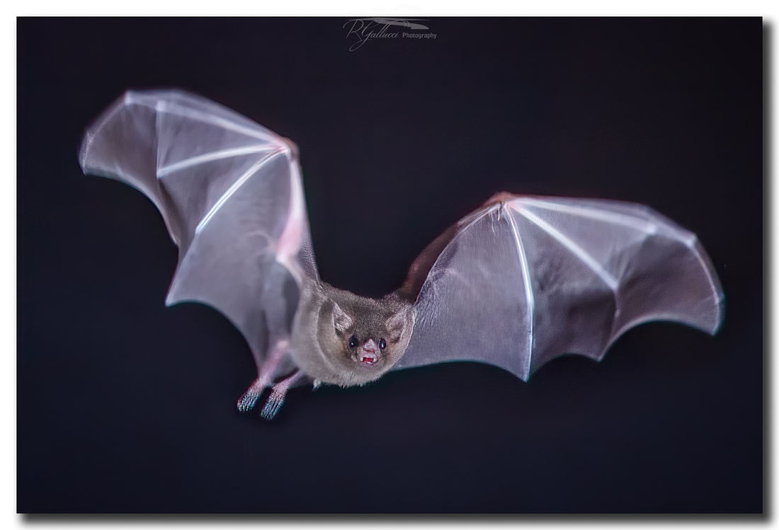 Lesser Long-nosed Bat III