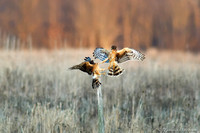 Northern Harrier (NOHA) -  Battle for the Perch II