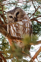 Northern Saw-whet Owl I