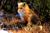 Dressed to Hide: A Fox in Waiting