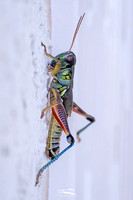 Spurr-throated Grasshopper